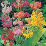 Primula Candelabra mix - approx 50 seeds